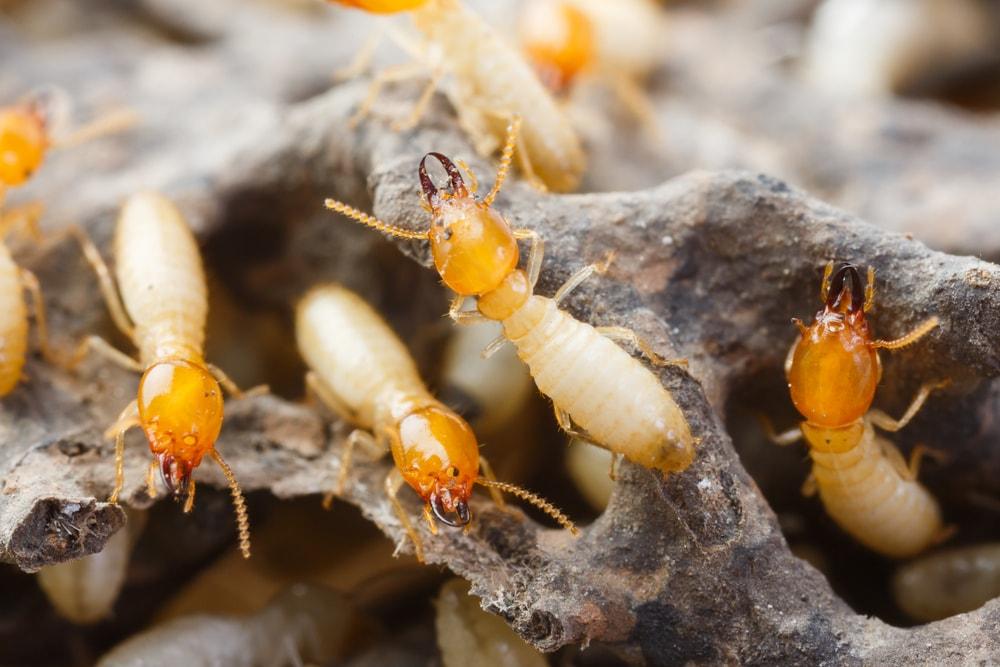 Do Termites Bite People?
